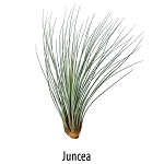 Air Plant - Juncea